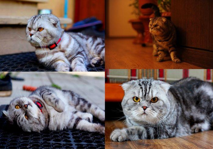 Шотландский вислоухий кот нужен для вязки